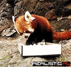 A red panda eating sushi